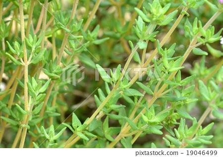 首页 照片 植物_花 花 香草 麝香草 百里香 时间  *pixta限定素材仅在