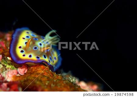 图库照片: 铜斑多彩海蛞蝓 海参 海底的