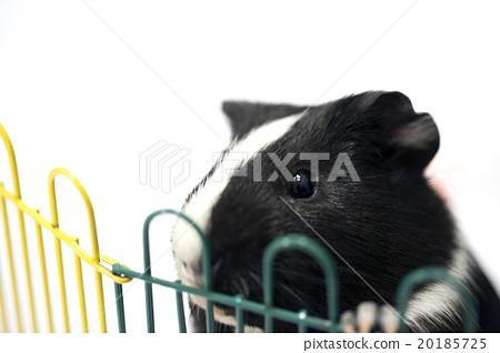 图库照片: 荷兰猪 宠物 小动物