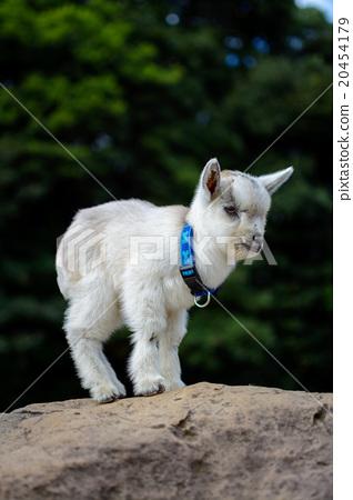 图库照片: 动物 雪羊 小山羊