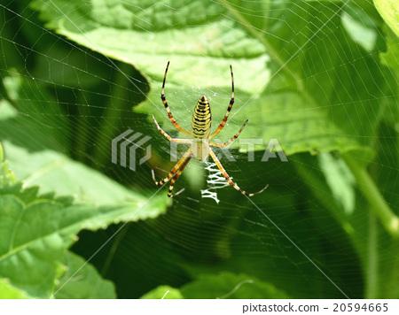 图库照片: 织网蜘蛛 蜘蛛 女性