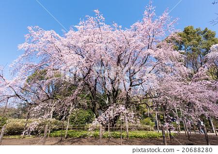 照片 人物 男女 日本人 六义花园 垂枝樱花 枝垂樱  *pixta限定素材仅