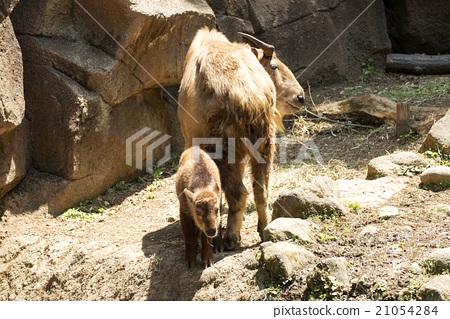 图库照片: 反刍哺乳动物家族 偶蹄目 偶蹄有蹄动物
