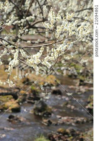 图库照片: 春天的颜色【梅花】