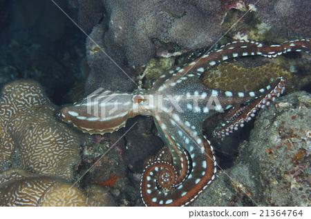 图库照片: 海底的 海里 章鱼