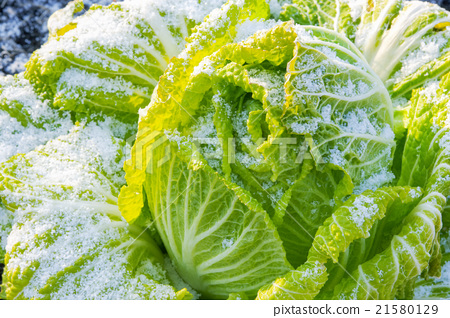 蔬菜_食品 叶_叶菜类 大白菜 照片 蔬菜 大白菜 雪 首页 照片 蔬菜图片