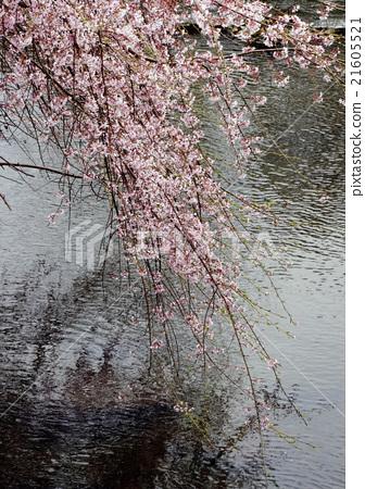 垂枝樱花 首页 照片 人物 男女 年轻人 垂枝樱花  *pixta限定素材仅在