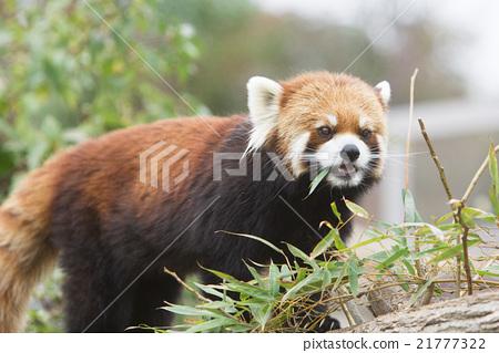 图库照片: 小熊猫 动物 竹叶草