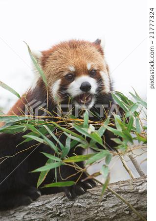 图库照片: 小熊猫 竹叶草 动物