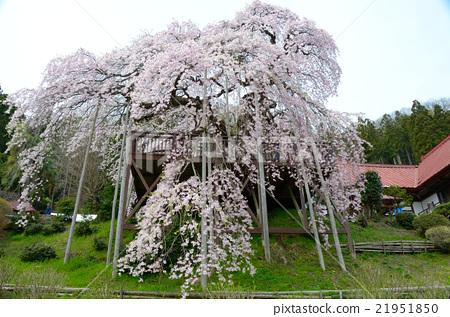 表情 可爱 垂枝樱花 樱花盛开 下垂的樱桃树  *pixta限定素材仅在