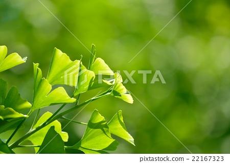 图库照片: 树叶 嫩叶 银杏