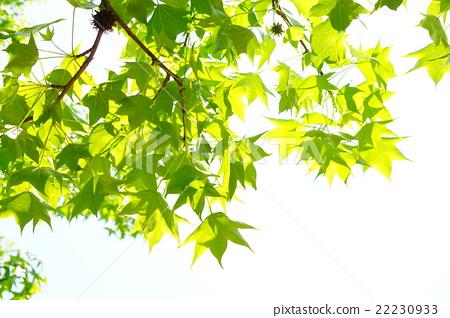首页 照片 人物 男女 日本人 法国梧桐 法桐 树叶  *pixta限定素材仅