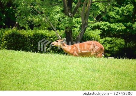 图库照片: 偶蹄目 偶蹄有蹄动物 反刍哺乳动物家族
