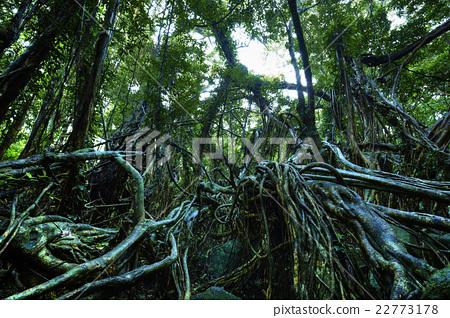 图库照片: 世界遗产 屋久岛 森林