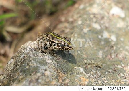 爬行动物_昆虫_恐龙 青蛙 照片 黑色斑点蛙 青蛙 两栖的 首页 照片