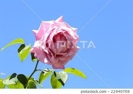 玫瑰花 蓝天 蓝蓝的天空 首页 照片 姿势_表情_动作 表情 可爱 玫瑰花
