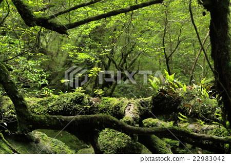 图库照片: 原始森林 世界遗产 屋久岛