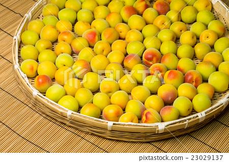 水果 首页 照片 人物 男女 日本人 南港梅子 梅 水果  *pixta限定素材
