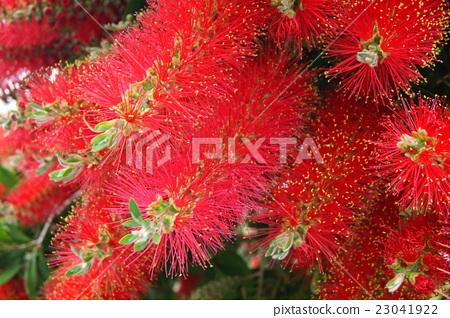 花卉 首页 照片 人物 男女 日本人 红千层 花朵 花卉  *pixta限定素材