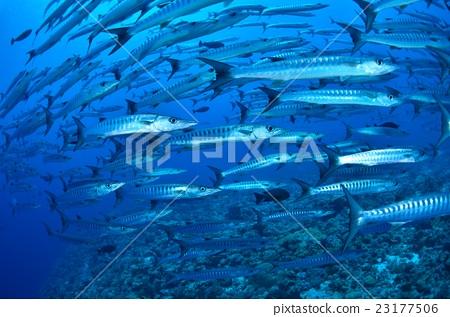 图库照片: 黑鳍白鲑梭鱼 鱼 梭鱼类图片