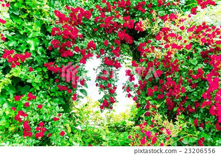 图库照片: 藤本月季 玫瑰藤 悬挂的玫瑰