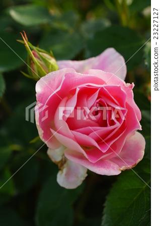 玫瑰花 粉红色 首页 照片 姿势_表情_动作 表情 可爱 玫瑰 玫瑰花