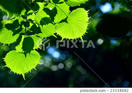 图库照片: fusasakura叶子是不规则的锯齿状有趣的形状