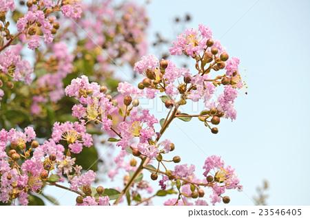 照片 姿势_表情_动作 表情 可爱 紫薇 花朵 花卉  *pixta限定素材仅在