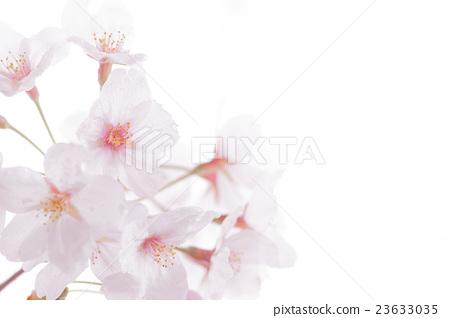 图库照片: 樱花 樱桃树 白底