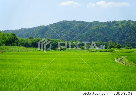 图库照片: 风景 自然 稻田