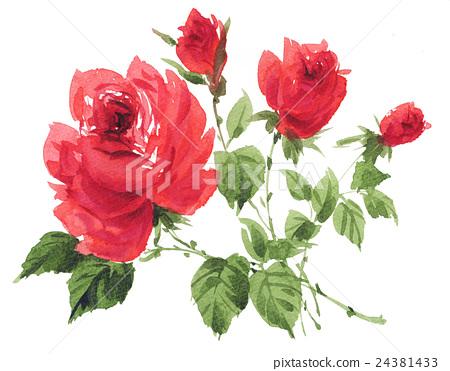 图库插图: 插图 玫瑰花 水彩画