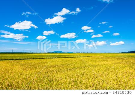 图库照片: 丰收 风景 稻田