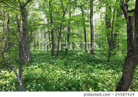 图库照片: 北海道 日本 森林