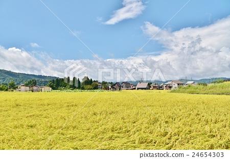 图库照片: 稻田 丰收 秋天