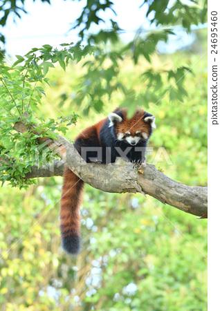 图库照片: 小熊猫 爬在树上 动物
