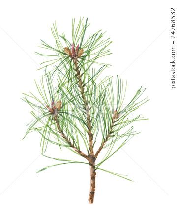图库插图: 松树 水彩 水彩画