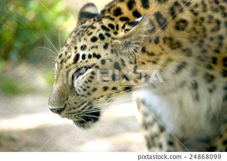 图库照片: 豹子 动物园 广岛