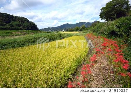 图库照片: 风景 稻株栽培 丰收