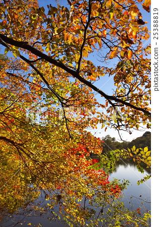 图库照片: 枫树 枫叶 红枫