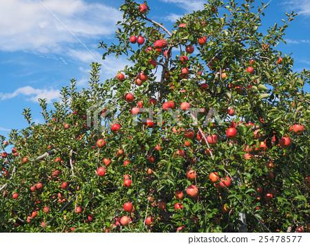图库照片: 苹果园 苹果 成熟