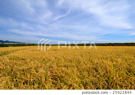 图库照片: 稻穗 丰收 秋天