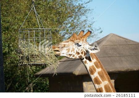 图库照片: 长颈鹿 动物园 动物