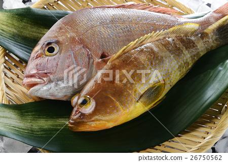 鱼_海鲜 海水鱼 鲷鱼 照片 鲷鱼 鲷 真鲷 首页 照片 鱼_海鲜 海水鱼