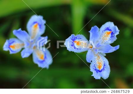图库照片: 蝴蝶花 植物 植物学