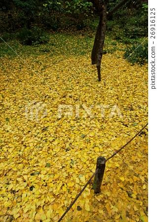 首页 照片 植物_花 树_树木 银杏 银杏 银杏树 落叶  *pixta限定素材