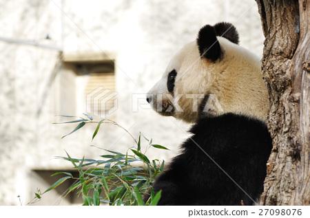 图库照片: 动物 动物园 熊猫