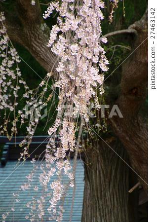 首页 照片 人物 男女 日本人 垂枝樱花 枝垂樱 授粉  *pixta限定素材