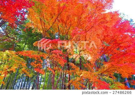 壁纸 枫叶 红枫 花 树 桌面 450_319