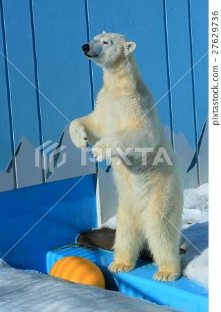 图库照片: 北极熊 动物园 牛奶