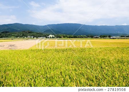 图库照片: 稻田 丰收 收获